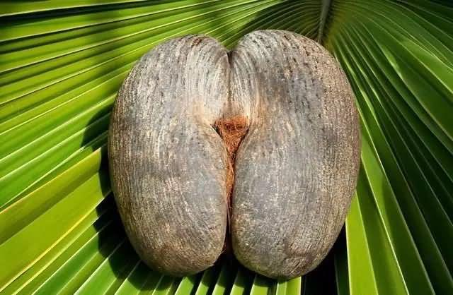 塞舌尔特产海椰子
